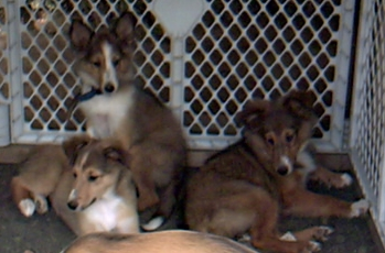 femalesheltiepups2003001resized.jpg