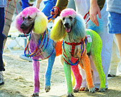 coloredpoodles.jpg